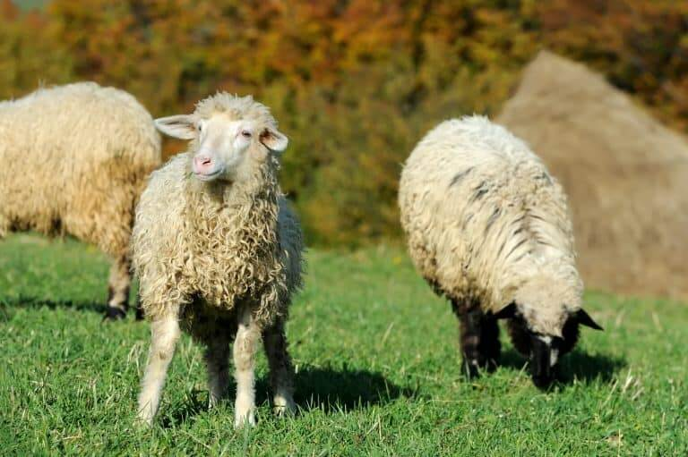 Ram vs Goat – Do You Know How to Tell the Difference?